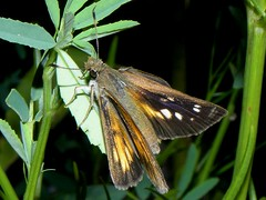 Broad-winged Skipper female (rstickney37) Tags: skipper hesperiidae poanes broadwingedskipper poanesviator