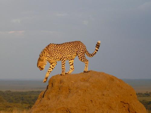 Cheetah on Termite Mound