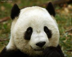Tai Shan, oh cuteness! (foocheung) Tags: panda nationalzoo pandas tiantian meixiang taishan