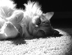 (SmartAnnie (Away)) Tags: blackandwhite bw cat lightandshadows samson bestofcats fluffylicious hugefurballs