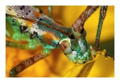 Katydid Nymph (gauchocat) Tags: katydid