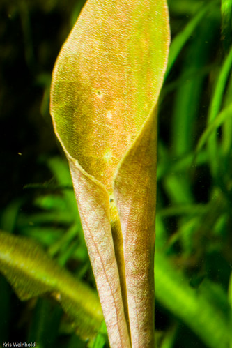 Lagenandra meeboldii sp. 'pink'