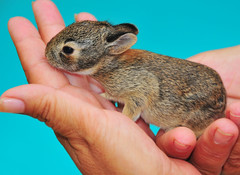 Nature in our Hands (Jeff Clow) Tags: rabbit bunny nature ecology danger risk conservation tiny future environment balance fragile mankind frail onblue xxzz mywinners abigfave jeffrclow naturescreations