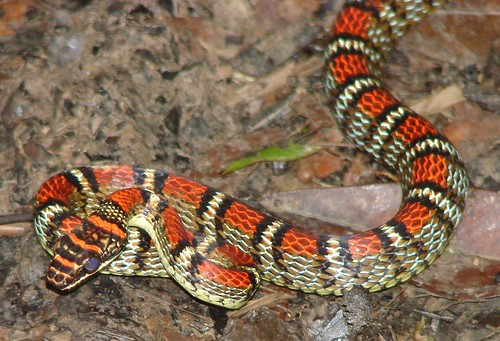 Twin Barred Tree Snake Banded flying snake