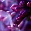 Welcome, Baby Ava!! (janoid) Tags: flowers flower macro beautiful thankyou purple birth lilac janoidmagic janoidsstyle