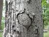 97.05.22平和國小吉貝木棉老樹DSCN0716