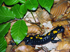Fire Salamander (K_Liff) Tags: green leaves forest salamander ukraine salamandra zakarpattia nevicke