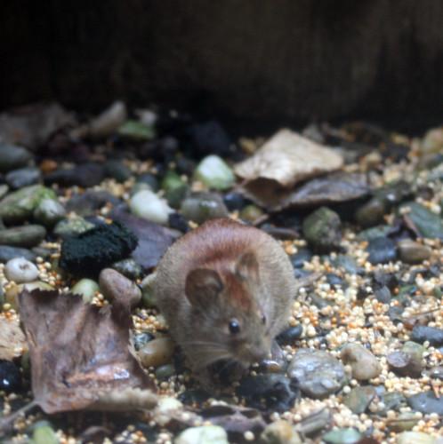 oscar-the-mouse