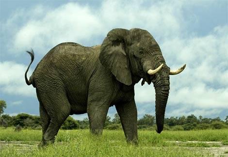 """Frickin"" elephant.jpg"