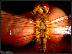 Dragonfly cannot fly (The SW Eden ( )) Tags: fly dragonfly sw eden