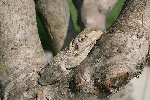 Tree frog, closer