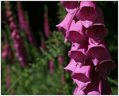 Selborne..28 June 2008 (strussler) Tags: pink england macro ex canon eos sigma hampshire 5d foxglove wildflower dg 50mmf28 selborne selbornecommon