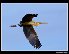 Purple Heron (Rey Sta. Ana) Tags: wild bird birds photography ana wildlife philippines manila rey avian sta palawan philippine wildbirds mantarey candaba staana