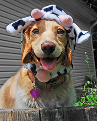 Cow Dog (Doxieone) Tags: summer dog cute english hat cow long mosaic cream dachshund honey blonde haired 31 coll longhaired honeydog englishcream halloweenfall2008set