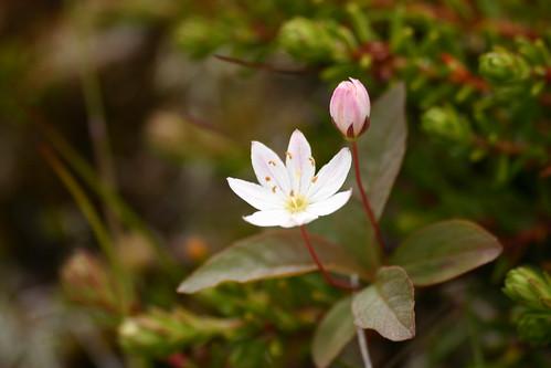 Flores en Varanger