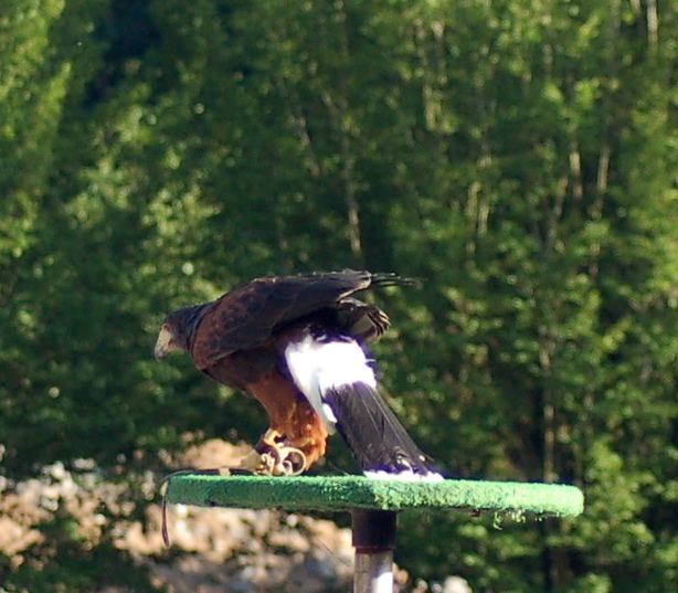 072408_harris_hawk_alit