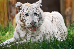 Tired white tiger cub (Tambako the Jaguar) Tags: wild baby white france cute grass tongue cat zoo cub big nikon feline stripes tiger kitty explore bigcat panting wildcat lying tigris tigre striped felid d300 panthera pantheratigris amnville golddragon anawesomeshot impressedbeauty flickrlovers