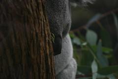 Koala (a-Reino) Tags: bear sleeping tree animals mammal zoo australia