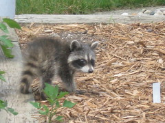 Baby Raccoon (tigerlover317) Tags: raccoon babyanimal