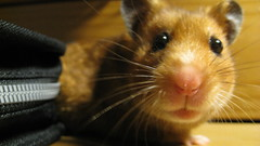 Falafel (lannazus) Tags: wood pet brown cute animal table nose eyes furry small fluffy whiskers hamster creature cdcase