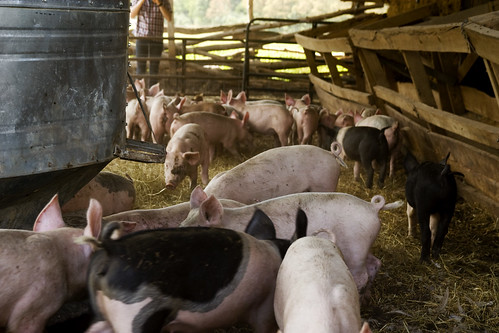 pigs and their piggly tails