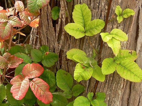 poison oak pictures on skin. Poison Oak