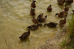 IMG_8071 (christophemurphy) Tags: ducks tring lots