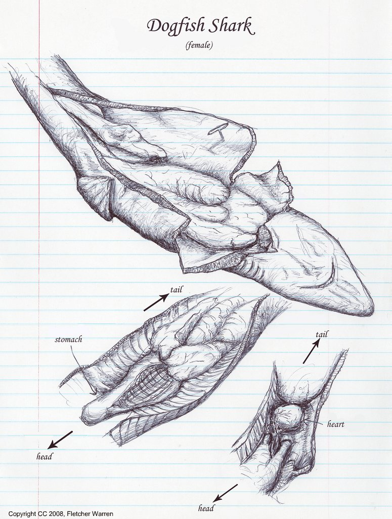Shark Internal Anatomy Picture http://ajilbab.com/dogfish/dogfish-dissection-pictures.htm