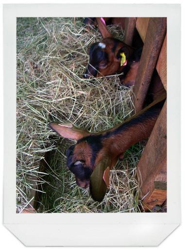 chèvres_01