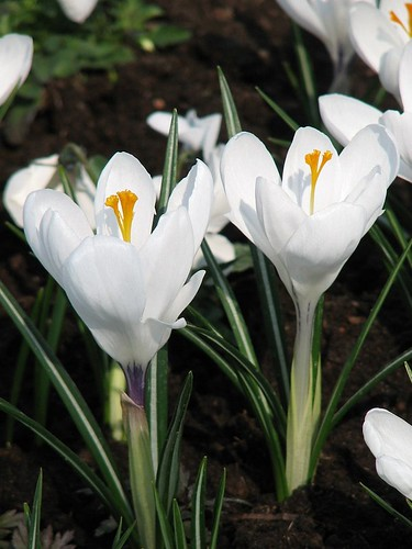 Crocus Jeanne d\'Arc