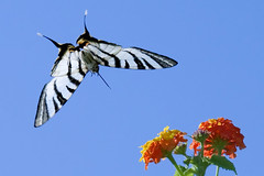 butterfly in flight (esther**) Tags: life flowers blue light red summer sky sun sunlight white green love nature colors beautiful beauty animal yellow butterfly insect island happy freedom fly flying high wings colorful europe angle blossom air joy flight free sunny august greece zebra bloom summertime rhodes summerday interestingness12 interestingness22