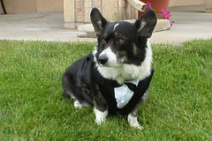 Indy's Tux 2 (IndysMom) Tags: wedding portrait dog cute puppy corgi waiting indy canine tuxedo servicedog welsh browneyes welshcorgi companion bigears bestman tux cardi puppydog disability mysweetie weddingpreparation workingdog weddingprep bestdog assistancedog blacknose cardigancorgi ehlersdanlos ehlersdanlossyndrome donotpet medicalalertdog mysweetindy welshcardi indysmom