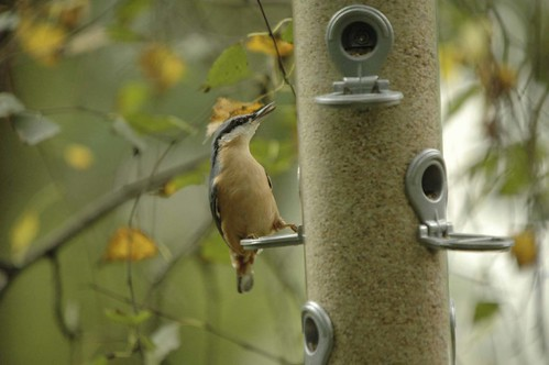 nuthatch feeder1