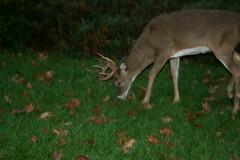 Deer (chanchan222) Tags: park trip family camping virginia big daniel meadows ethan national valley chan van shenandoah luray danchan danielchan chanchan222 wwwchanofamericacom chanwaibun