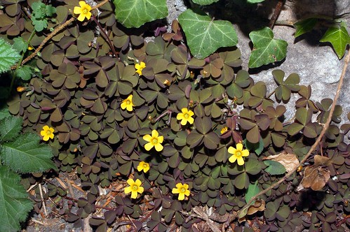 Oxalis corniculata by naturgucker.de (on flickr)