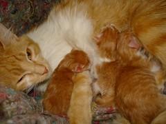 Gravidez na Adolescncia (Maricy_vet) Tags: cat feline pregnancy kittens surgery gato felino cesarea gravidez filhotes parto veterinary cesarean gatoamarelo veterinria teenagepregnancy cesareanbirth