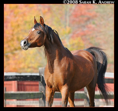 Captain (Rock and Racehorses) Tags: friends portrait horses horse portraits liberty perfect photographer explore arab arabian arabianhorse the hickoryridge egyptianarabian equinephotography theperfectphotographer sarahkandrew ska4026