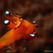_MG_3255 Pi-ka chu ( Nudibranchs)