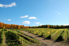 vineyard (instantkamera_photography) Tags: thanksgiving vineyard quebec instantkamera