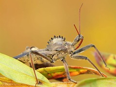 Look It's a Dinosaur - NO - It's a Wheel Bug