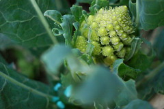 Romanesco broccoli (net_efekt) Tags: garden spiral broccoli vegetable fractal veg allotment legume romanesco gemse brassica gemuese oleracea logarithmicspiral brassicaoleracea