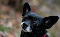 (rachelakelso) Tags: chihuahua black cute girl wonderful amazing bokeh gertrude trudy bestdogever canonrebelxti 111308 2008yip 2008yip318