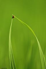 bug's life (paojus) Tags: life justin bug d50 leaf interestingness nikon paolo philippines nikond50 explore ladybug davao nikonstunninggallery abigfave alquiza paojus paojusalquiza paolojustintalquiza justinalquiza paoloalquiza paolojustinalquiza