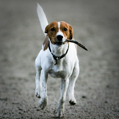 Fetch! (Voetmann) Tags: dog running catch fetch bastian aport canon400d 80200l28