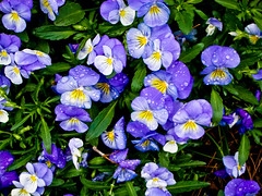 Beautiful Purple Pansies