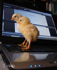 Cambiando su destino (Errlucho) Tags: pollos tecnología errlucho