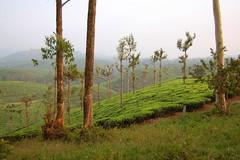 DSC_0653 (dark is light enough) Tags: india teaplantation stanmore valparai