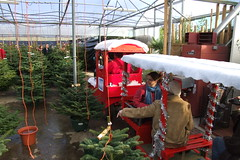 Priory Farm Christmas Tree Land #4
