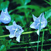 "BlueFlowers • <a style=""font-size:0.8em;"" href=""http://www.flickr.com/photos/21616890@N04/3105821621/"" target=""_blank"">View on Flickr</a>"