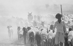 Followers (Sarika Dandona) Tags: bw village cows sheep indian group dust herd haryana dfc damdamalake herdsman sarikadandona